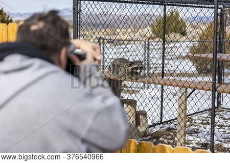 Rescued Racoons Behind Fence Outdoors At Wildlife Sanctuary Park With Spectators