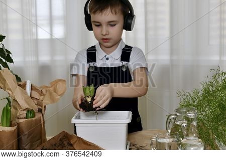The Boy Is Engaged In The Planting Of Hyacinths. Carefully Hands Carries The Flower Bulb In A Contai