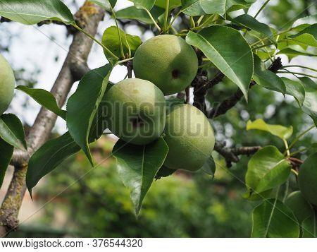 Green Pear Fruit Food