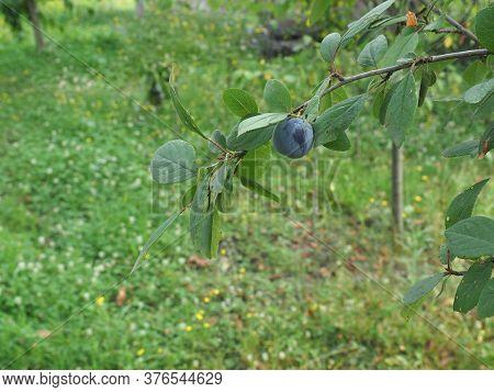 Prune Fruit Food