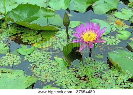 Beautiful Purple Lotus