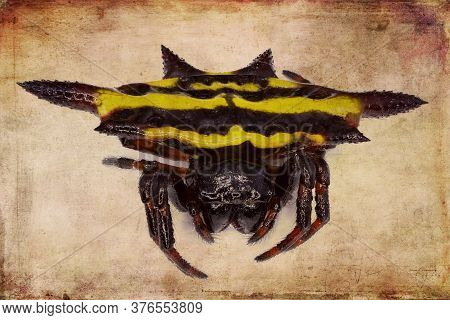 Blunt-spined Kite Spider On A Textured Background