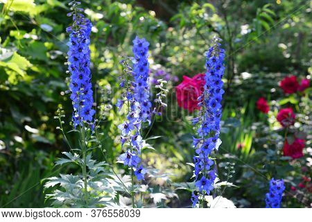 Beautiful Blue Delphinium Blooming With Sturdy Flower Spikes In The Flowerbed With Red Roses In The