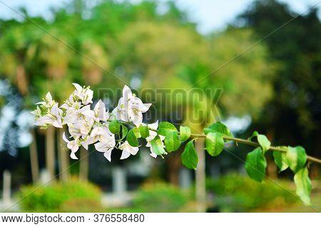 White Bougainvillea Flowers In The Garden Park