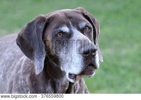 Outdoor Head Portrait Of A Purebred And Pedigreed Male German Shorthaired Pointer Canine With Attent
