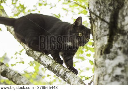 Black Domestic Cat Walks On The Branch Of The Deciduous Birch Tree.
