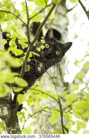 The Head Of A Black Cat Leans Out From Behind A Deciduous Birch Tree And Observes The Surroundings.