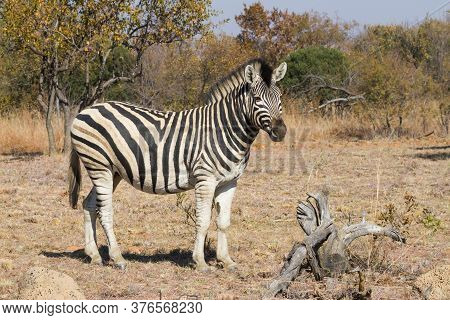 A Solitary Plains Zebra Standing In A Field With A Background Of Trees In Autumn Colors In South Afr