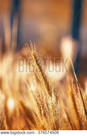 Spikelets Gold Color, Backlit, Natural Summer Background, Blurred Image, Selective Focus