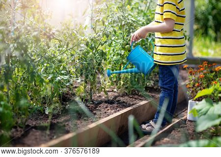 Child Watering Tomato Seedling In The Soil In Greenhouse