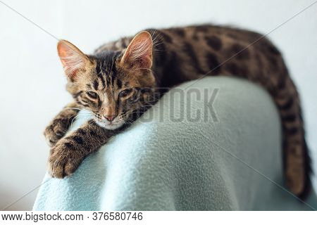 Little Charcoal Longhair Bengal Kitty Laying On The Backrest Of An Armchair At Home