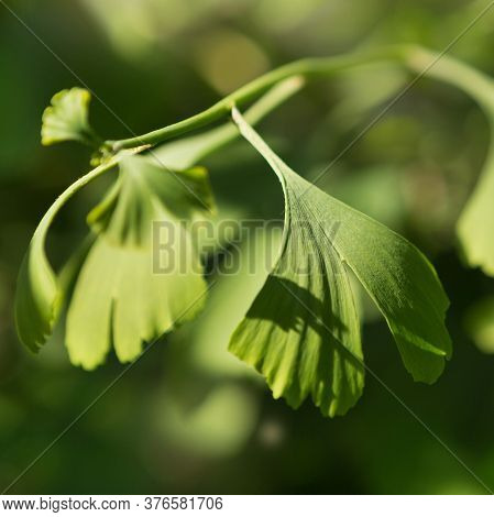 Green Leaves Of Ginkgo Bilobo Close-up, On A Background Of Greenery
