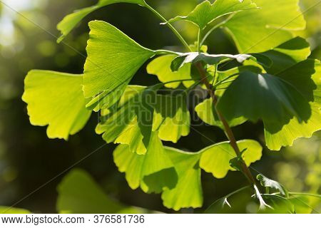 Branch With Leaves Of Ginkgo Bilobo Close-up, In Beautiful Sunlight, Medicinal Plant