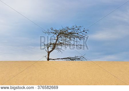 Dry Gnarled Pine Tree On A Sand Dune Under A Blue Sky