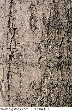 Narrow-leaved Ash Bark Detail - Latin Name - Fraxinus Angustifolia