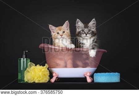 Duo Of Two Cute Maine Coon Kittens, Sitting In Pink Doll Bath Tub With Soap Bottle And Sponges. Look
