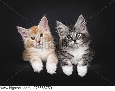 Duo Of Two Cute Maine Coon Kittens, Laying Beside Eachother With Paws Over Edge. Looking Towards Cam