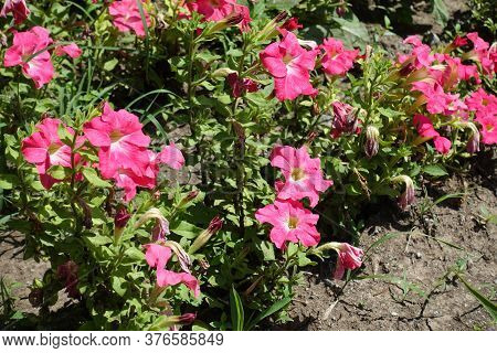 Florescence Of Salmon Pink Petunia In Mid June