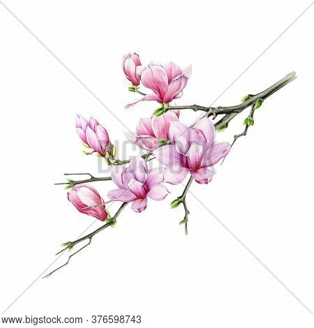 Tender Pink Magnolia Branch With Close Up Flowers Watercolor Illustration. Hand Drawn Lush Spring Bl
