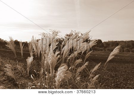 steppe feather grass