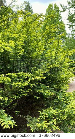 Branches Of Evergreen Conifers In A City Park. Gardening And Landscaping With Fresh Green Decorative