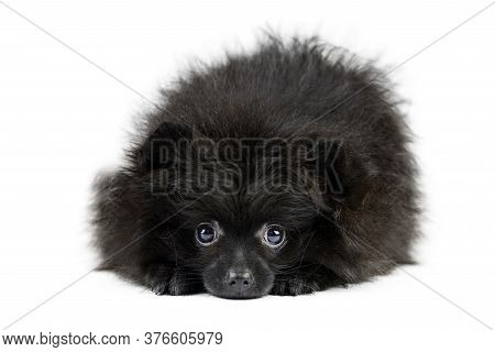 Black Pomeranian Puppy Spitz, Isolated. Cute Pomeranian, White Background. Family Friendly Tiny Spit