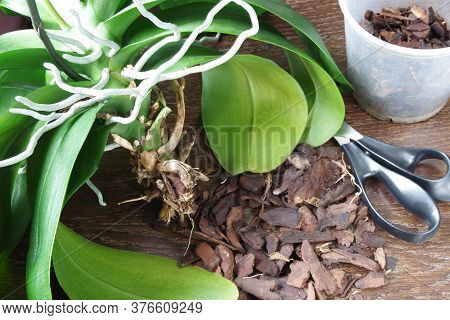 Damaged Orchid Roots. Care, Replanting Orchids, Primer For Orchids, Treatment Of Diseased Plants. Tr