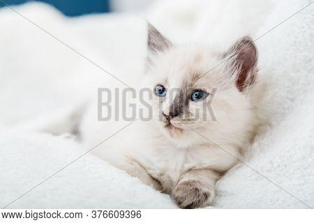White Kitten With Blue Eyes. Portrait Of Beautiful Fluffy White Kitten. Cat, Animal Baby, Kitten Wit
