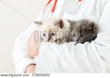 2 Two Fluffy Gray Kittens In Doctor Veterinarian Hands In White Coat With Stethoscope. Baby White An