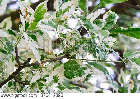Cornus Controversa Tree, Variegata. Ornamental Tree Leaves Close-up.