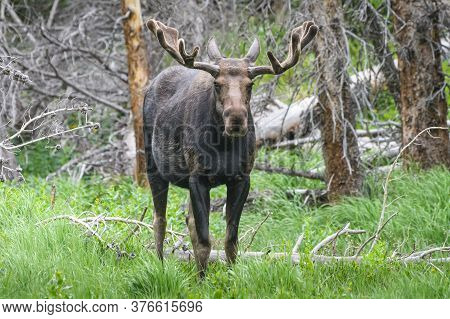 Colorado Moose Living In The Wild. Bull Moose In A Rocky Mountain Forest.