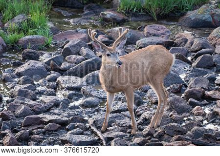 Wildlife Of Colorado. Mule Deer Buck In Velvet At Rocky Mountain Spring