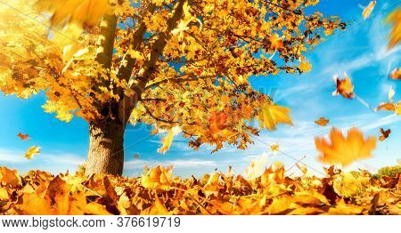 Maple Tree Against The Blue Sky On A Nice Autumn Day, With Yellow Leaves Falling To The Ground