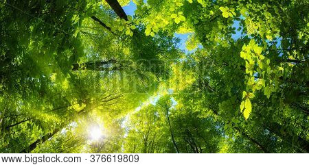 Elevating Panoramic Upwards View To The Canopy In A Beech Forest With Fresh Green Foliage, Sun Rays
