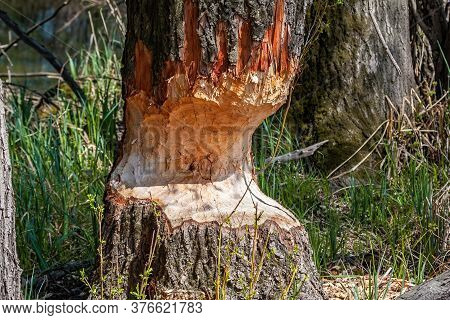 Marks Afters Beaver Teeth On A Tree Trunk In Wetland