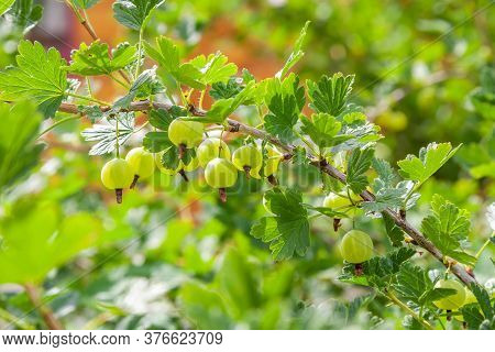 Fresh Green Gooseberries On A Branch Of A Gooseberry Bush In Sunny Summer Day. Close Up View