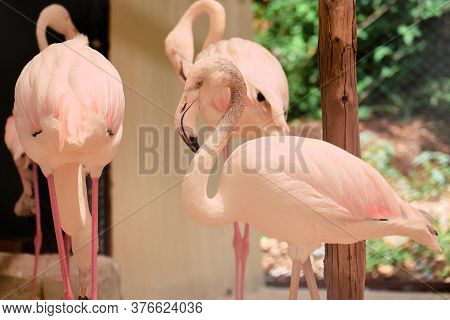 Pink Flamingos In The Zoo Enclosure Aviary