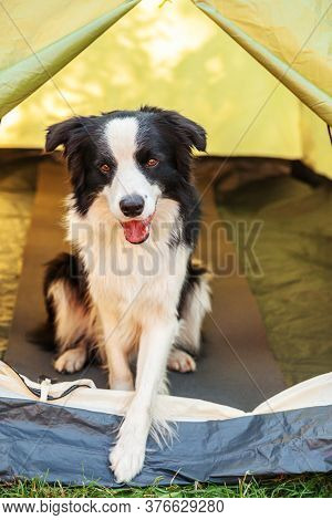 Outdoor Portrait Of Cute Funny Puppy Dog Border Collie Sitting Inside In Camping Tent. Pet Travel, A