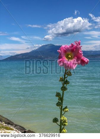 Pink Mallow Across Mountains, Lake, Clouds And Sky. Vertical. Flowers. Lake Garda, Italy, Europe.