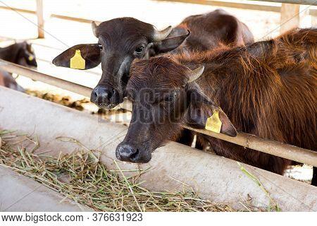 The Moorhra Buffalo Milk Farm Is Eating Grass.