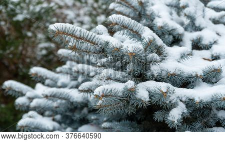 Blue Spruce In The Forest, Fluffy Snow On The Spruce Branches. Beautiful Christmas Tree