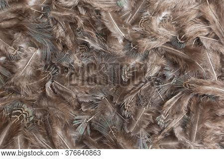 Pheasant Feather Texture Background. Top View, Flat Lay.