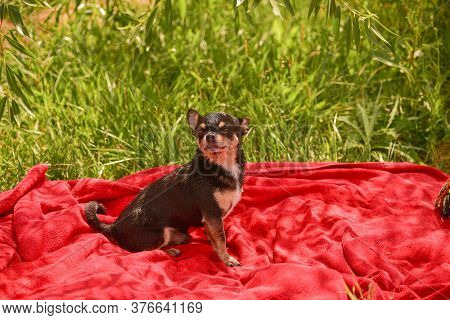 Beautiful Chihuahua Dog. Animal Portrait. Stylish Photo. Red Background.collection Of Funny Animals.
