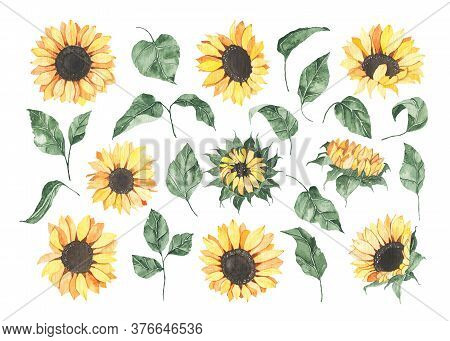 Watercolor Sunflowers With Green Leaves Isolated On White Background. Floral Summer Spring Autumn Ye