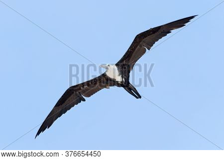 The Long Wing Predator Type Bird Gliding In The Air In Belize.