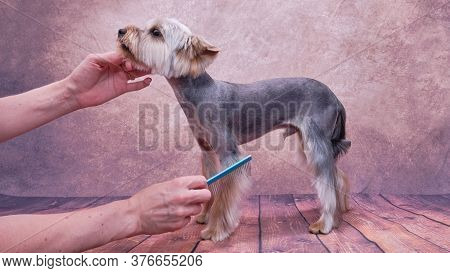Yorkshire Terrier Isolated On White Bad Good. The Woman Holds The Face Of The Terrier With One Hand,