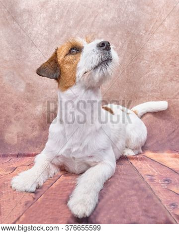 Jack Russell Terrier On A Beautiful Vintage Background. The Dog Looks Up.