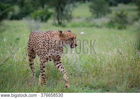 Cheetah Walking In The Long Grass In Kruger National Park In South Africa