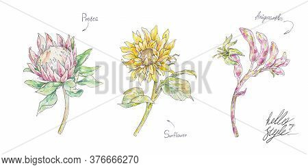 Watercolor Yellow Sunflower And Pink Protea Anigozanthos Isolated On White Background. Handwork Flow