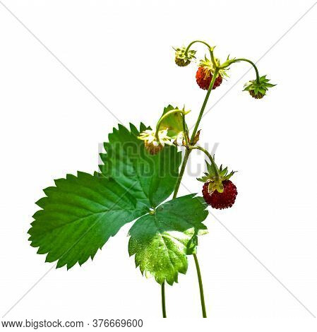 Stalk Of Wild Strawberry With Red Juicy Berries And Green Leaves Close-up, Isolated On A White Backg